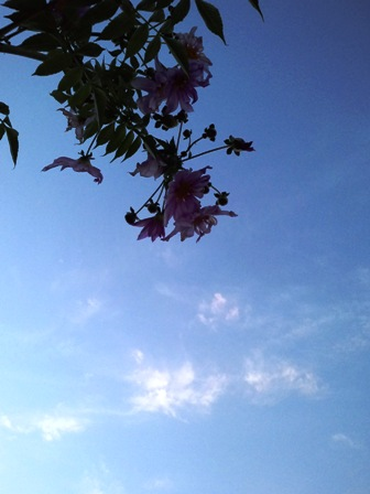 秋空に咲く皇帝ダリア