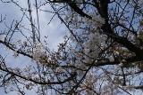 杷木町の桜